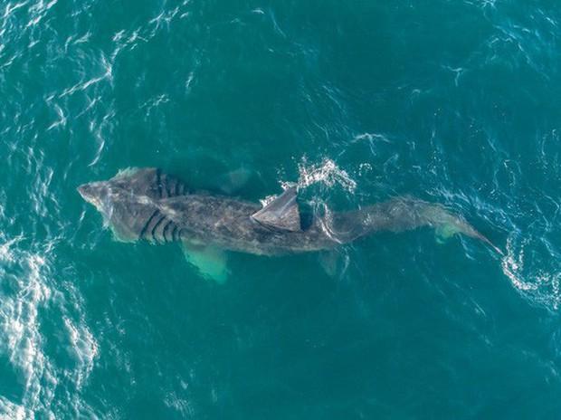 Kinh ngạc với cá mập to như máy bay phản lực xuất hiện ở Mỹ - Ảnh 1.