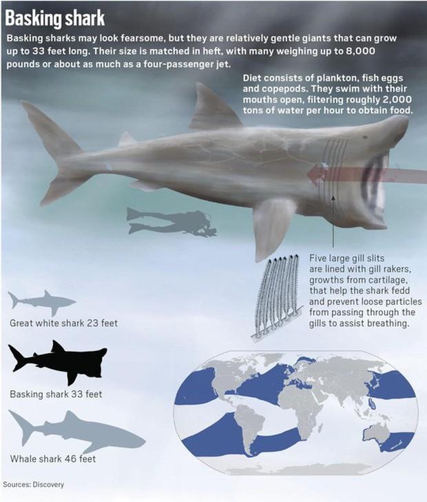 Kinh ngạc với cá mập to như máy bay phản lực xuất hiện ở Mỹ - Ảnh 3.