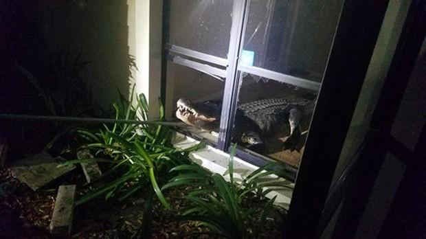 Cá sấu dài hơn 3m phá cửa sổ lẻn vào nhà trong đêm khiến người dân khiếp vía - Ảnh 2.