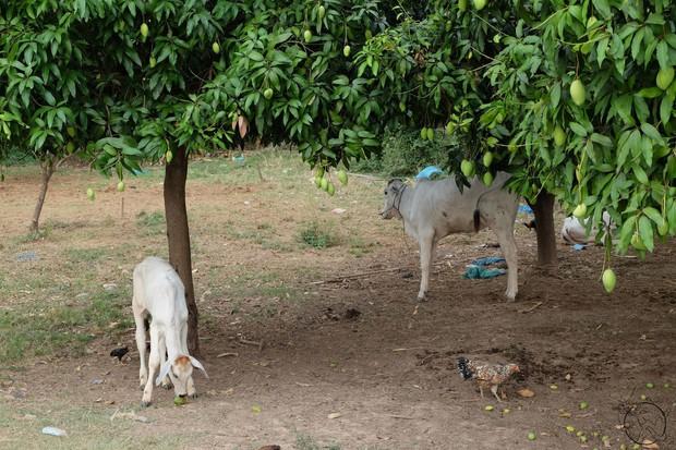 Sự thật đau đớn đằng sau vàng Ấn Độ từng mê hoặc hội họa phương Tây suốt nhiều thế kỷ: Nỗi thống khổ của loài bò - Ảnh 9.