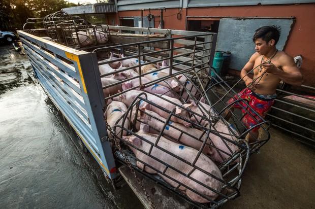 Sự thật tàn khốc đằng sau những lò giết mổ lợn ở Thái Lan với nỗi đau thấu tim can không ai biết - Ảnh 1.