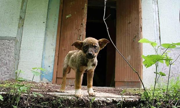 Câu chuyện về những chú chó bị bỏ rơi ở Chernobyl: Cô độc giữa mảnh đất chết, vươn lên thành băng đảng chó hoang lớn mạnh nhất vùng - Ảnh 1.