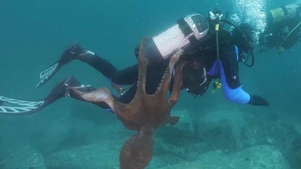 """Bạch tuộc """"siêu to khổng lồ"""" níu mãi không buông anh thợ lặn ở biển Nhật Bản khiến dân mạng vừa cười vừa sợ - Ảnh 2."""
