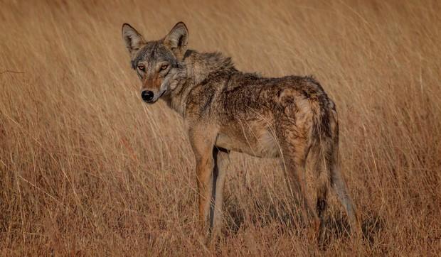 Dân làng đập chết sói hoang vì săn trộm gia súc, ngờ đâu là loài quý hiếm lần đầu xuất hiện sau hơn 70 năm - Ảnh 2.