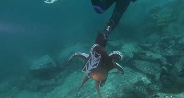 """Bạch tuộc """"siêu to khổng lồ"""" níu mãi không buông anh thợ lặn ở biển Nhật Bản khiến dân mạng vừa cười vừa sợ - Ảnh 3."""
