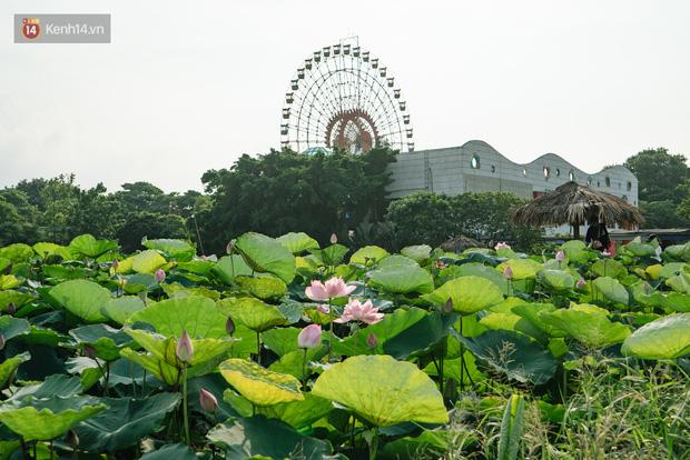 Đầm sen ở Nhật Tân có gì hot mà người dân Hà Nội ùn ùn kéo đến, lội xuống hồ chụp ảnh mỗi ngày? - Ảnh 2.