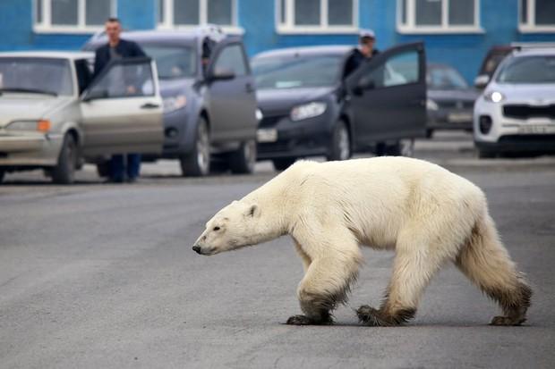 Gấu Bắc Cực đi lạc hơn 1.500 km đến Nga trong tình trạng kiệt sức vì không tìm được thức ăn - Ảnh 1.