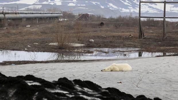 Gấu Bắc Cực đi lạc hơn 1.500 km đến Nga trong tình trạng kiệt sức vì không tìm được thức ăn - Ảnh 3.