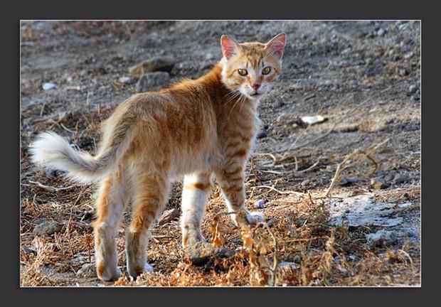 Khoa học vừa tìm tung tích loài mèo trong truyền thuyết Địa Trung Hải: 1 loài mới với cái tên cực lạ? - Ảnh 2.