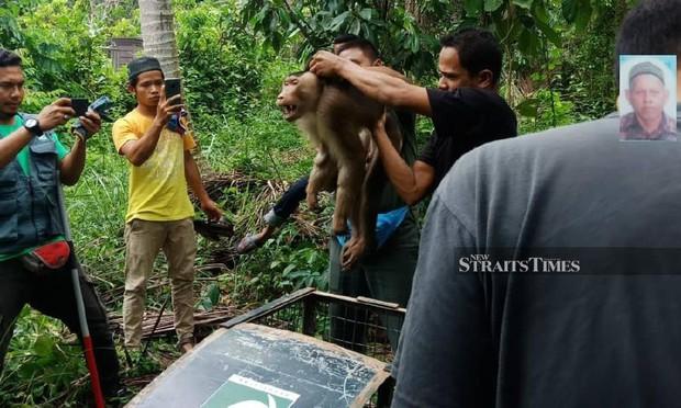 Dạy khỉ nhà trèo cây hái quả, người đàn ông 72 tuổi chết thảm - Ảnh 1.