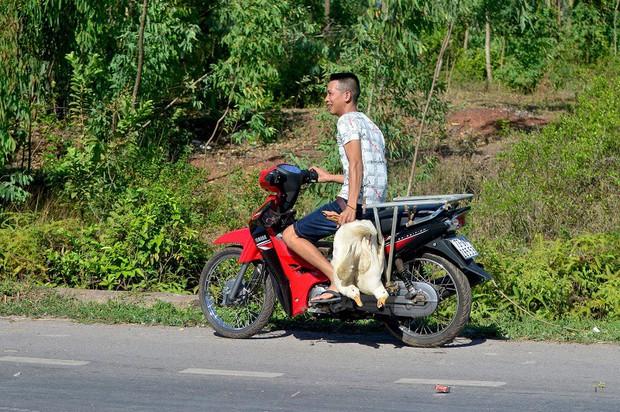 Dân hôi vịt trên xe tải bị lật ở Quảng Bình: Số vịt thất thoát là do đè lên nhau chết - Ảnh 2.