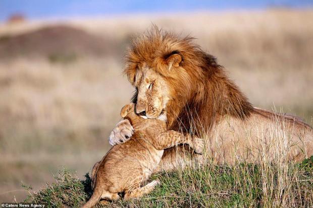 Mufasa và Simba phiên bản đời thật: Khoảnh khắc sư tử con nũng nịu trong vòng tay cha khiến ai xem cũng tan chảy trái tim - Ảnh 1.