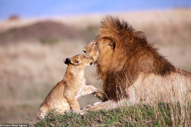 Mufasa và Simba phiên bản đời thật: Khoảnh khắc sư tử con nũng nịu trong vòng tay cha khiến ai xem cũng tan chảy trái tim - Ảnh 2.