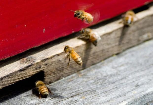 Hệ lụy gì đằng sau hiện tượng nhiều loài ong hoang dã bắt đầu sử dụng nhựa làm vật liệu xây tổ - Ảnh 1.