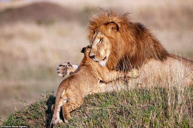 Mufasa và Simba phiên bản đời thật: Khoảnh khắc sư tử con nũng nịu trong vòng tay cha khiến ai xem cũng tan chảy trái tim - Ảnh 3.