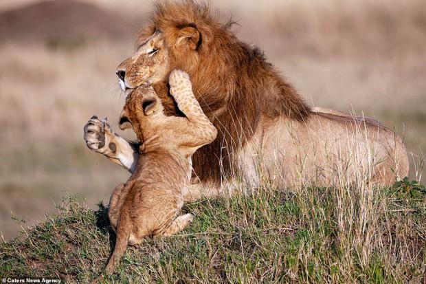 Mufasa và Simba phiên bản đời thật: Khoảnh khắc sư tử con nũng nịu trong vòng tay cha khiến ai xem cũng tan chảy trái tim - Ảnh 4.