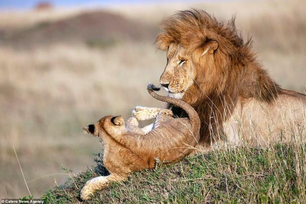 Mufasa và Simba phiên bản đời thật: Khoảnh khắc sư tử con nũng nịu trong vòng tay cha khiến ai xem cũng tan chảy trái tim - Ảnh 5.