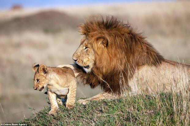 Mufasa và Simba phiên bản đời thật: Khoảnh khắc sư tử con nũng nịu trong vòng tay cha khiến ai xem cũng tan chảy trái tim - Ảnh 6.