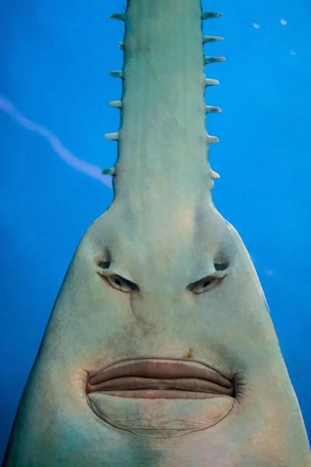 Dân mạng phát cuồng với con cá đao răng nhọn trông lúc nào cũng cáu bẳn như vừa bị ai đấm - Ảnh 2.