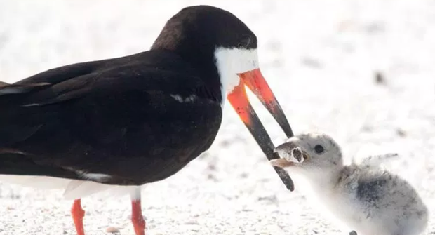 Bức ảnh chim mẹ mớm con ăn... đầu lọc thuốc lá khiến loài người phải suy ngẫm: Chúng ta đã đầu độc thiên nhiên đến mức báo động! - Ảnh 1.