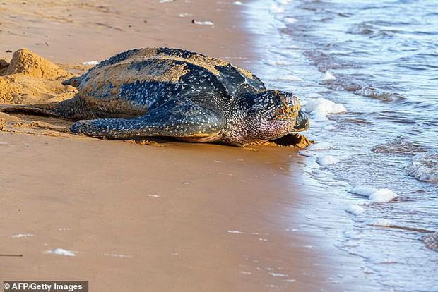 Hình ảnh rùa biển vừa đẻ trứng xong, chưa kịp thoát thân thì bị người dân đua nhau cưỡi lên khiến dư luận phẫn nộ - Ảnh 2.