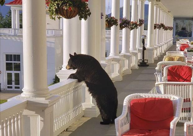 Ngộ nghĩnh hình ảnh gấu đen thư giãn trong khách sạn  - Ảnh 1.
