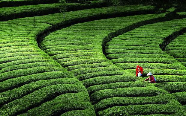 Từ nhúm trà xanh vua Càn Long trộm của cô thôn nữ, giờ đây mới có món Tôm Long Tỉnh thơm ngon nức tiếng - Ảnh 8.