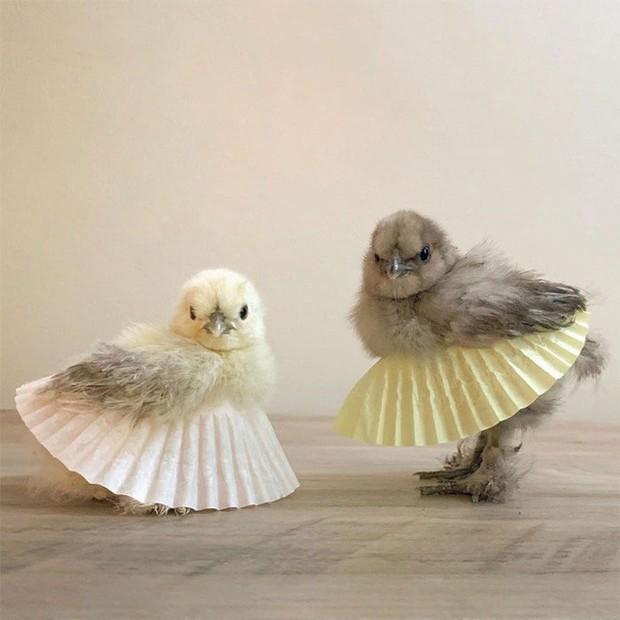Chùm ảnh: Khi lũ gà mặc váy múa ba lê hóa ra lại đáng yêu khó cưỡng như thế này - Ảnh 1.