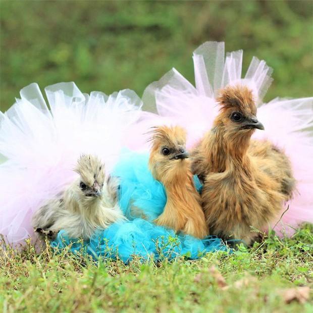 Chùm ảnh: Khi lũ gà mặc váy múa ba lê hóa ra lại đáng yêu khó cưỡng như thế này - Ảnh 2.