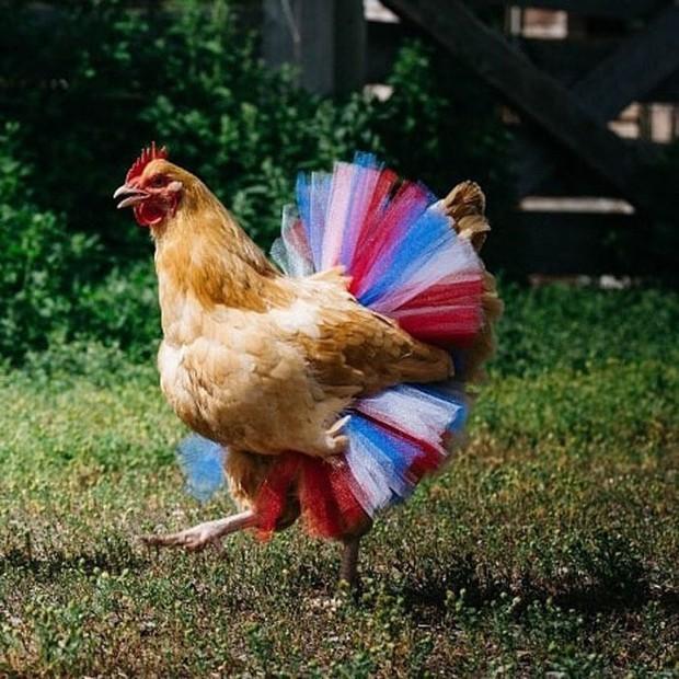 Chùm ảnh: Khi lũ gà mặc váy múa ba lê hóa ra lại đáng yêu khó cưỡng như thế này - Ảnh 11.