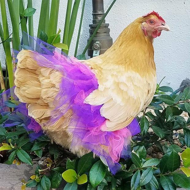 Chùm ảnh: Khi lũ gà mặc váy múa ba lê hóa ra lại đáng yêu khó cưỡng như thế này - Ảnh 3.