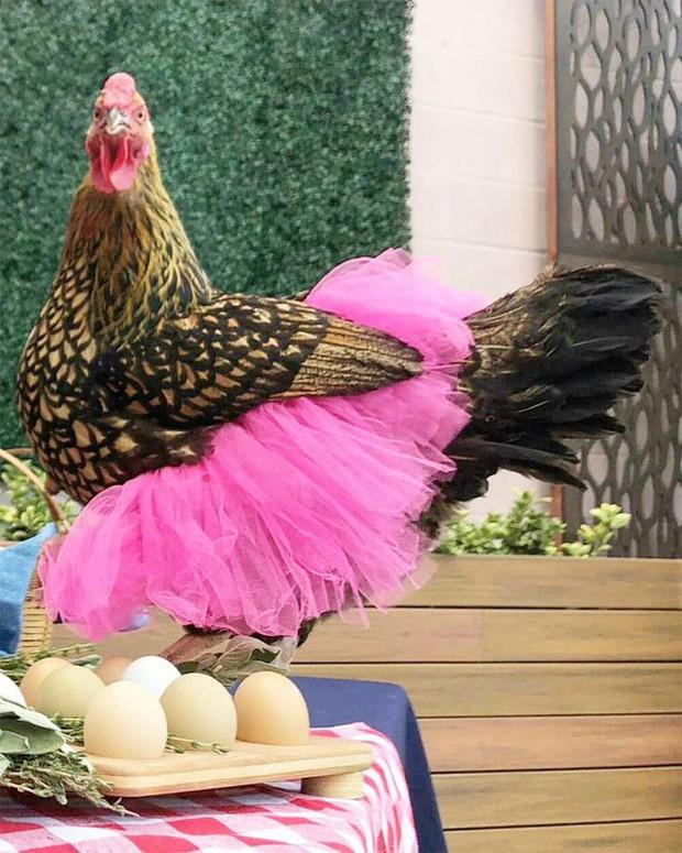 Chùm ảnh: Khi lũ gà mặc váy múa ba lê hóa ra lại đáng yêu khó cưỡng như thế này - Ảnh 8.