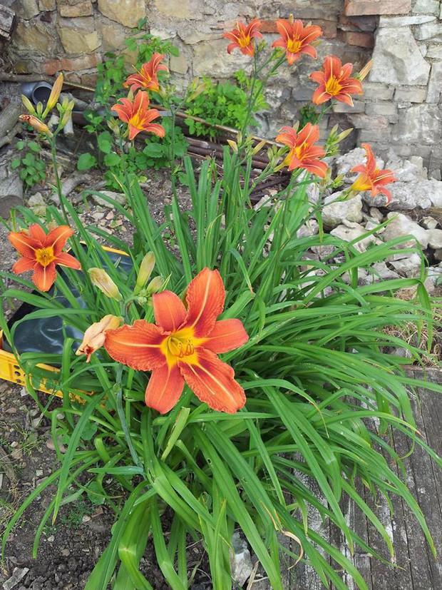 Loại hoa siêu chảnh năm nở 1 lần, nửa triệu/kg vẫn cháy hàng nhờ tác dụng chữa mất ngủ, động thai, viêm gan cực hiệu quả - Ảnh 3.