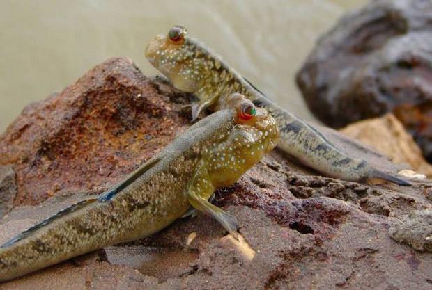 Điểm danh 10 loài cá có biệt tài săn mồi trên cạn trong thế giới tự nhiên - Ảnh 10.