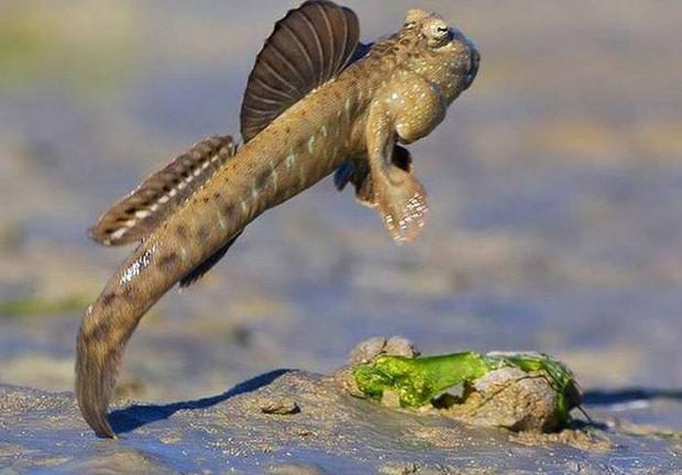 Điểm danh 10 loài cá có biệt tài săn mồi trên cạn trong thế giới tự nhiên - Ảnh 11.