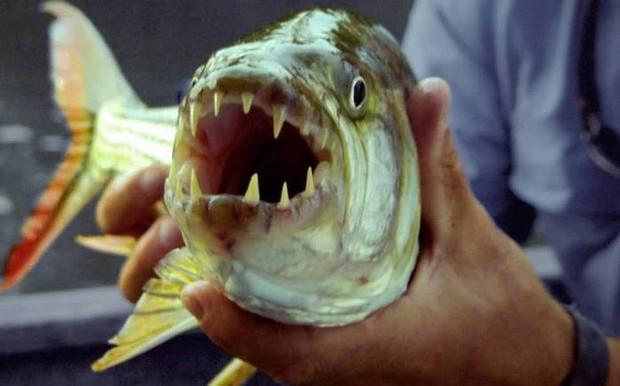 Điểm danh 10 loài cá có biệt tài săn mồi trên cạn trong thế giới tự nhiên - Ảnh 12.