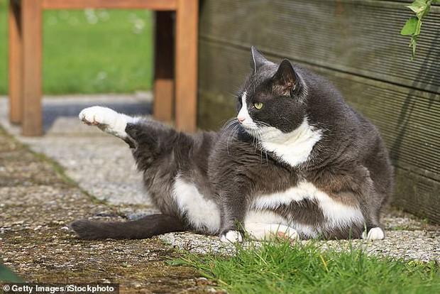 Lũ mèo thực sự đang ngày càng béo hơn và khoa học bảo rằng mọi thứ đều có lý do - Ảnh 2.