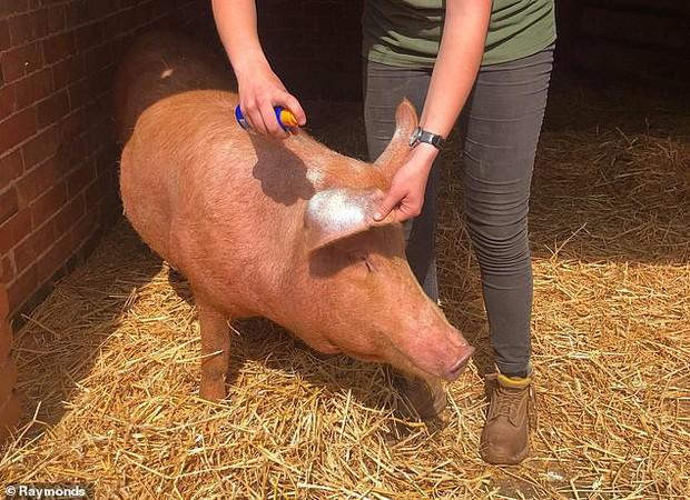 Cưng xỉu khoảnh khắc chú lợn được xịt kem chống nắng để bảo toàn cơ thể trong ngày nắng nóng nhất năm - Ảnh 1.