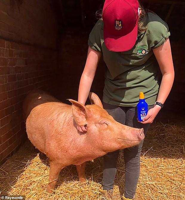 Cưng xỉu khoảnh khắc chú lợn được xịt kem chống nắng để bảo toàn cơ thể trong ngày nắng nóng nhất năm - Ảnh 2.