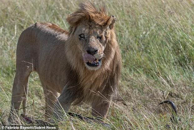 Phát hiện phiên bản xịn của Scar (Vua sư tử) ngoài đời: Vẻ ngoài sắc lạnh đúng với trùm cuối phản diện, bên trong ấm áp đến không ngờ - Ảnh 4.