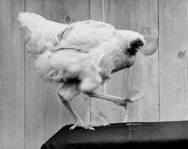 Câu chuyện ly kỳ của chú gà không đầu sống hơn 1 năm rưỡi: Đi biểu diễn khắp nơi, thách thức khoa học tạo ra bản sao - Ảnh 3.