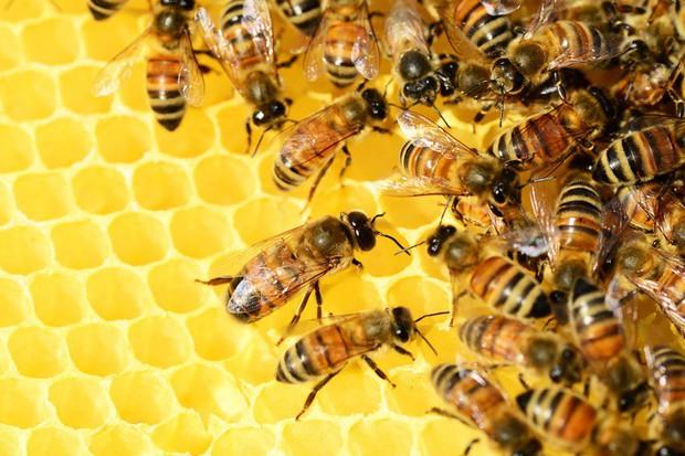 Ong mật trên thế giới đang có nguy cơ tuyệt chủng cực lớn và đây là lý do chúng ta không thể để điều đó xảy ra - Ảnh 5.
