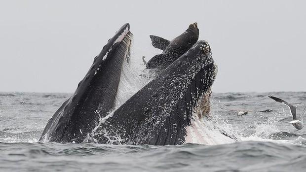 Lần đầu tiên xuất hiện hình ảnh cá voi nuốt chửng sư tử biển nhưng bất ngờ nhất là định mệnh của con mồi - Ảnh 1.