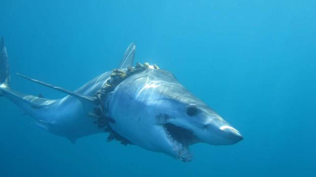 1000 con cá mập đang phải sống hết sức khổ sở - minh chứng rõ ràng nhất về tác hại của nhựa với đại dương - Ảnh 1.