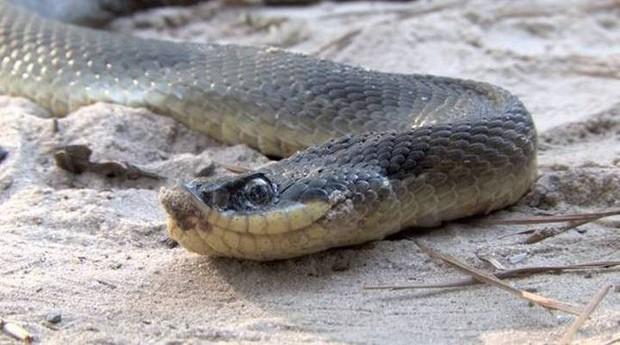 Đây là diễn viên xuất sắc nhất thế giới động vật: Loài rắn Hognose với khả năng giả vờ chết đau đớn để đánh lừa kẻ thù - Ảnh 2.