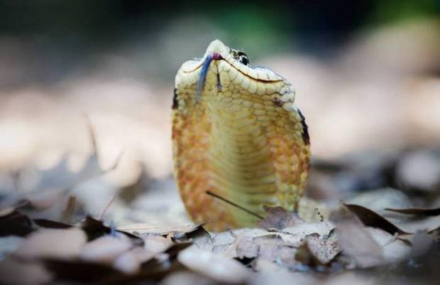 Đây là diễn viên xuất sắc nhất thế giới động vật: Loài rắn Hognose với khả năng giả vờ chết đau đớn để đánh lừa kẻ thù - Ảnh 3.