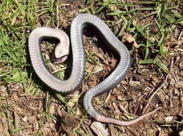 Đây là diễn viên xuất sắc nhất thế giới động vật: Loài rắn Hognose với khả năng giả vờ chết đau đớn để đánh lừa kẻ thù - Ảnh 5.