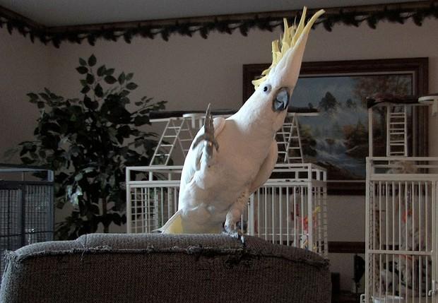 Sự thật kinh ngạc mới tìm ra về Snowball - con vẹt biết nhảy đốn tim cả thế giới: Nó tự biết nhảy mà chẳng cần ai dạy - Ảnh 2.