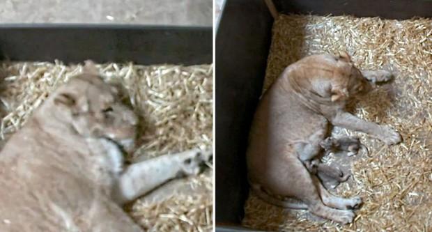 Bi kịch sư tử mẹ trong sở thú giết thịt con mình dứt ruột đẻ ra: Tại sao Hổ dữ không ăn thịt con mà sư tử lại làm như vậy? - Ảnh 1.