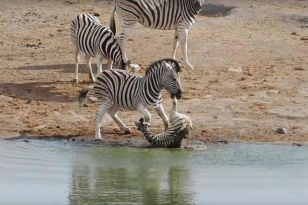 Bi kịch sư tử mẹ trong sở thú giết thịt con mình dứt ruột đẻ ra: Tại sao Hổ dữ không ăn thịt con mà sư tử lại làm như vậy? - Ảnh 4.